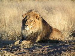 250px-Lion_waiting_in_Namibia
